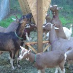 Goats at feeder